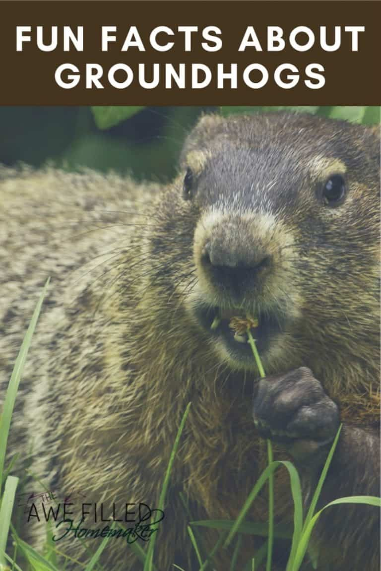 Fun Facts About Groundhogs