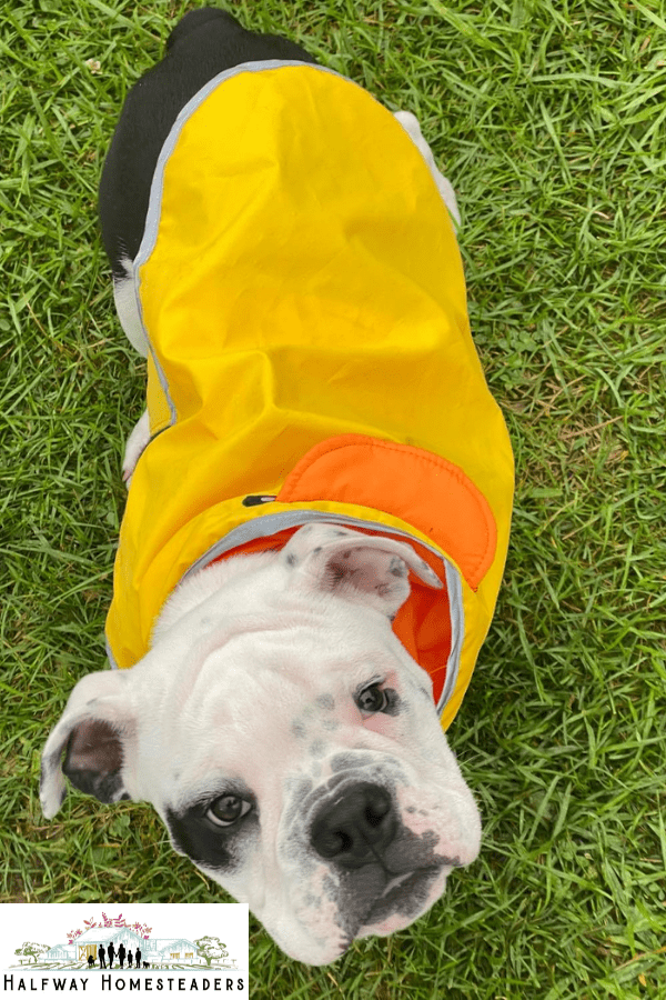 9 Facts About Olde English Bulldogges for New Owners