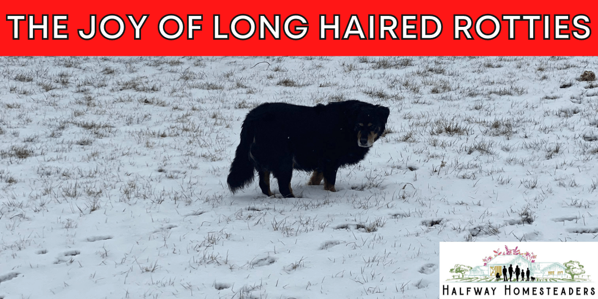 THE JOY OF LONG HAIRED ROTTIES 11