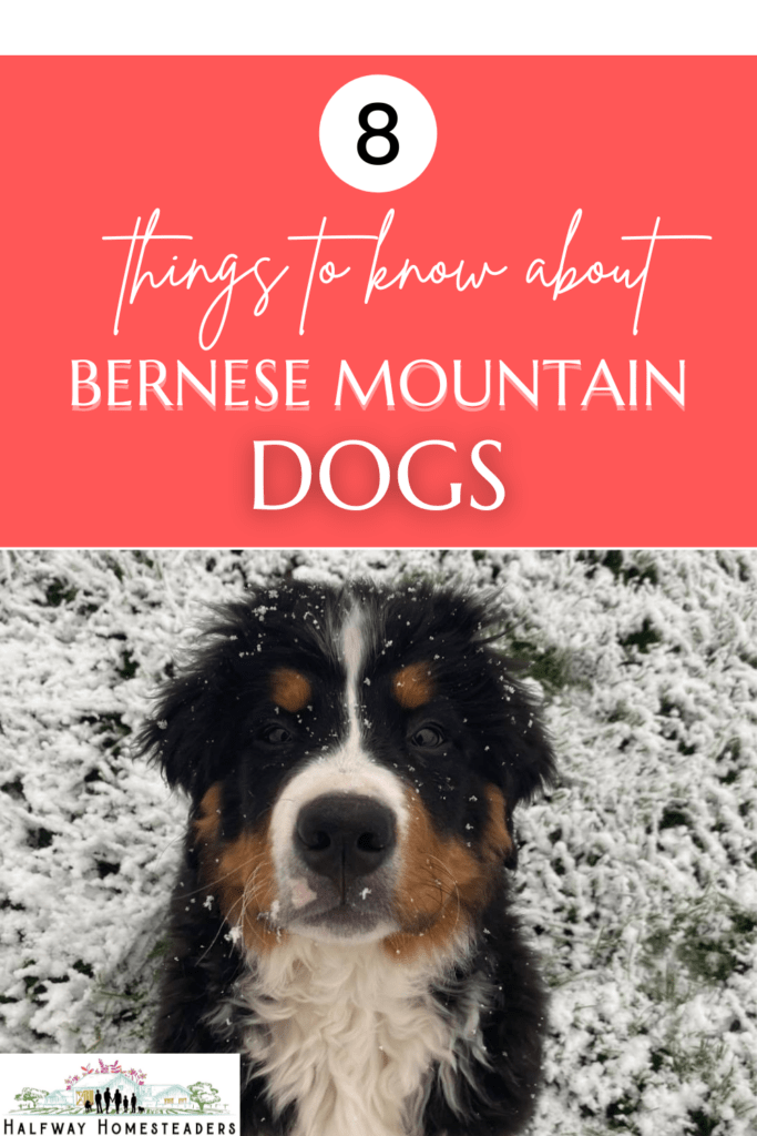 8 Things to Know About Bernese Mountain Dogs