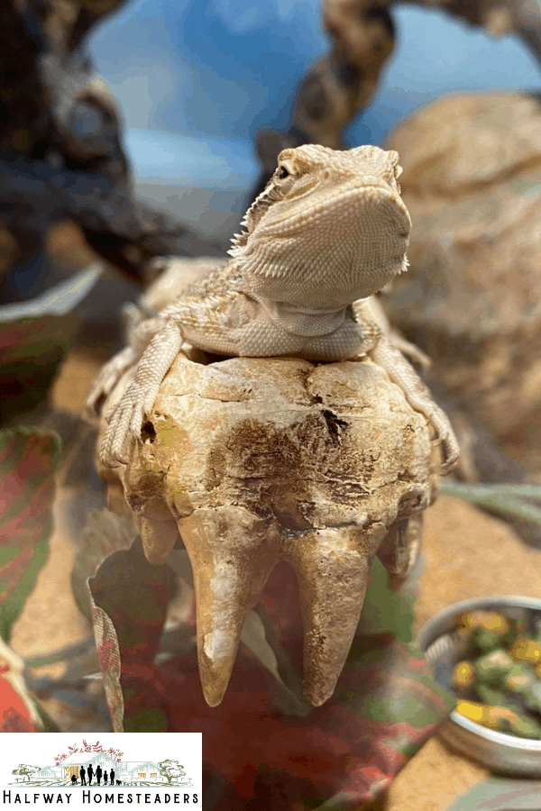 What Items Do You Need For Your Bearded Dragon