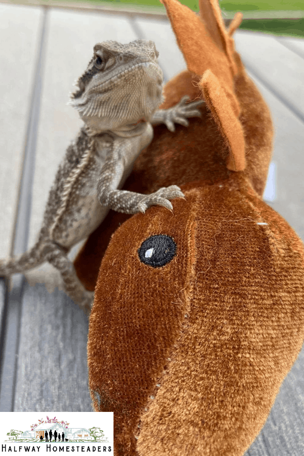 Everything You Need To Know About Bearded Dragons